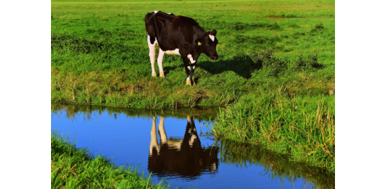 Cow standing on green field at the side of a small river