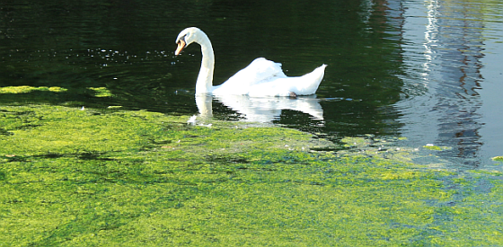 Swan swimming on a lake going toward some algae